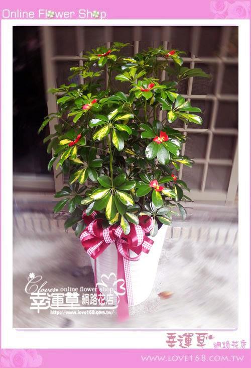 E75鵝掌樹盆栽