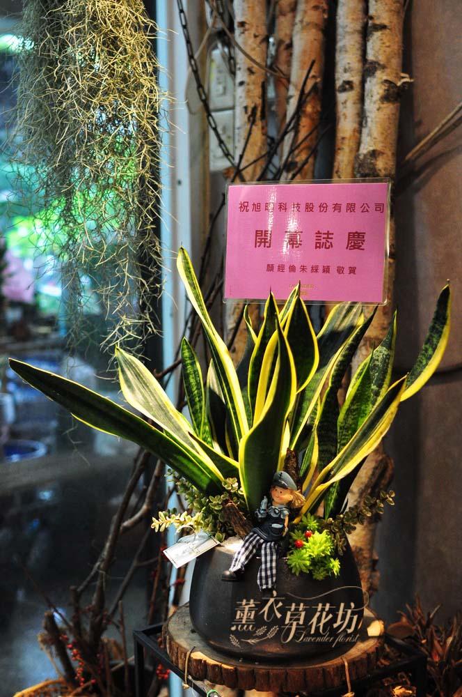 虎尾蘭盆栽D176