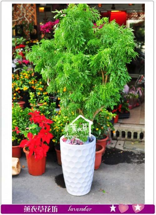 富貴樹a011609