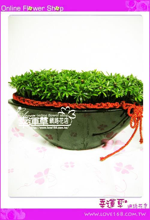 E88羅漢松盆栽