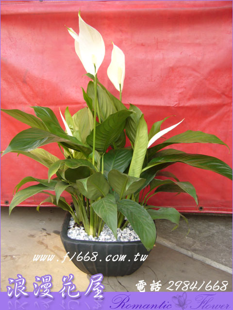 白鶴盆栽 3-56