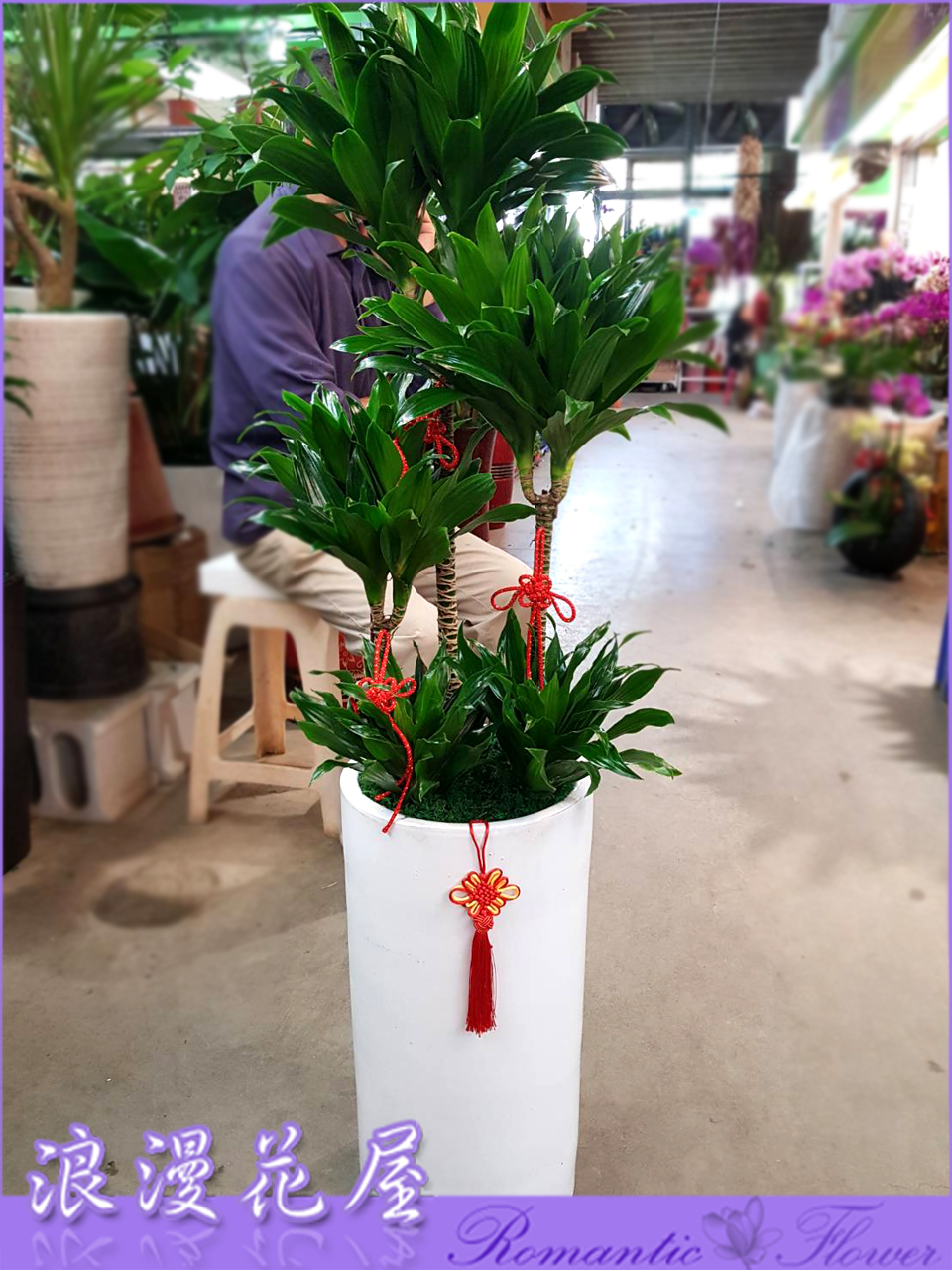 阿波羅盆栽 3-167