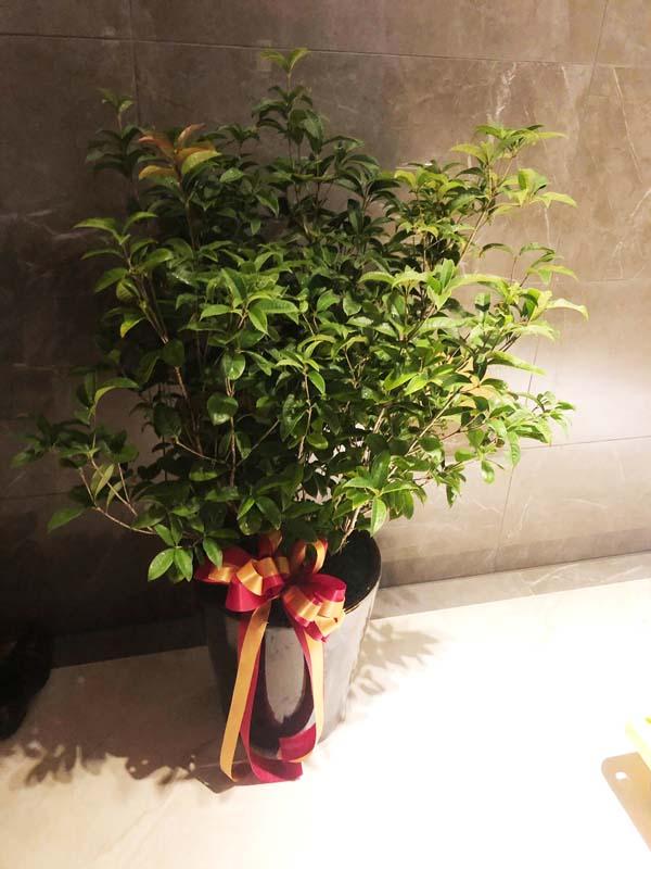 桂花盆栽109070703
