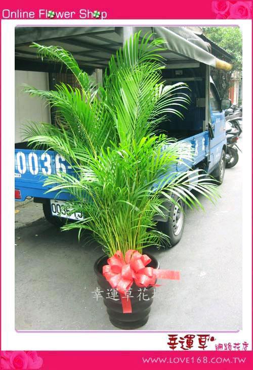E17 椰子樹盆栽