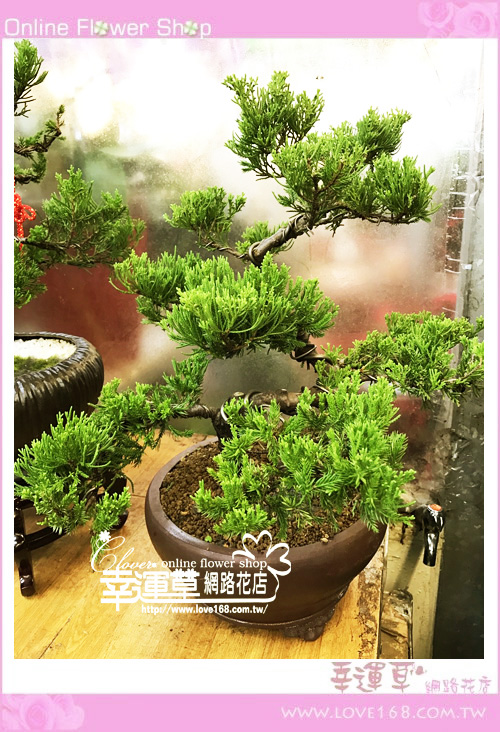 松柏盆栽E033