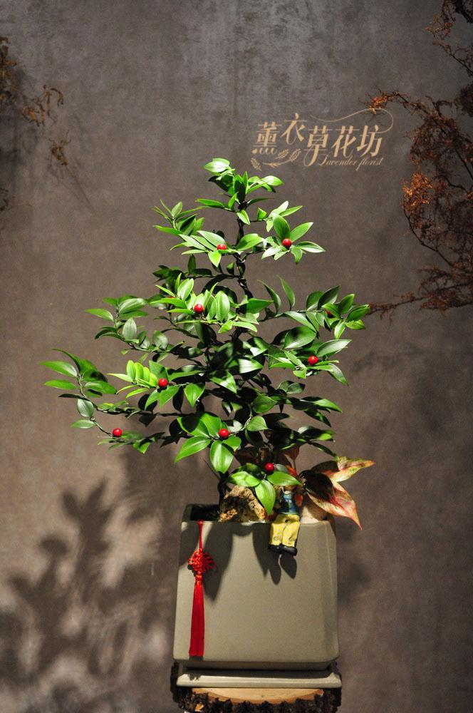 日本竹柏 盆栽109010309