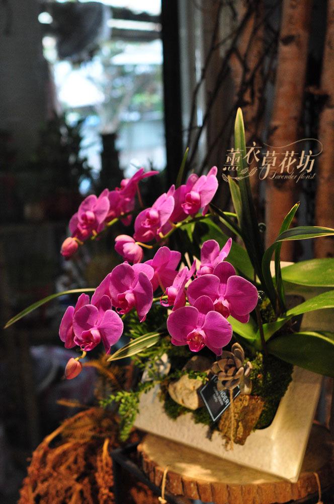 蝴蝶蘭~多肉 設計109030402