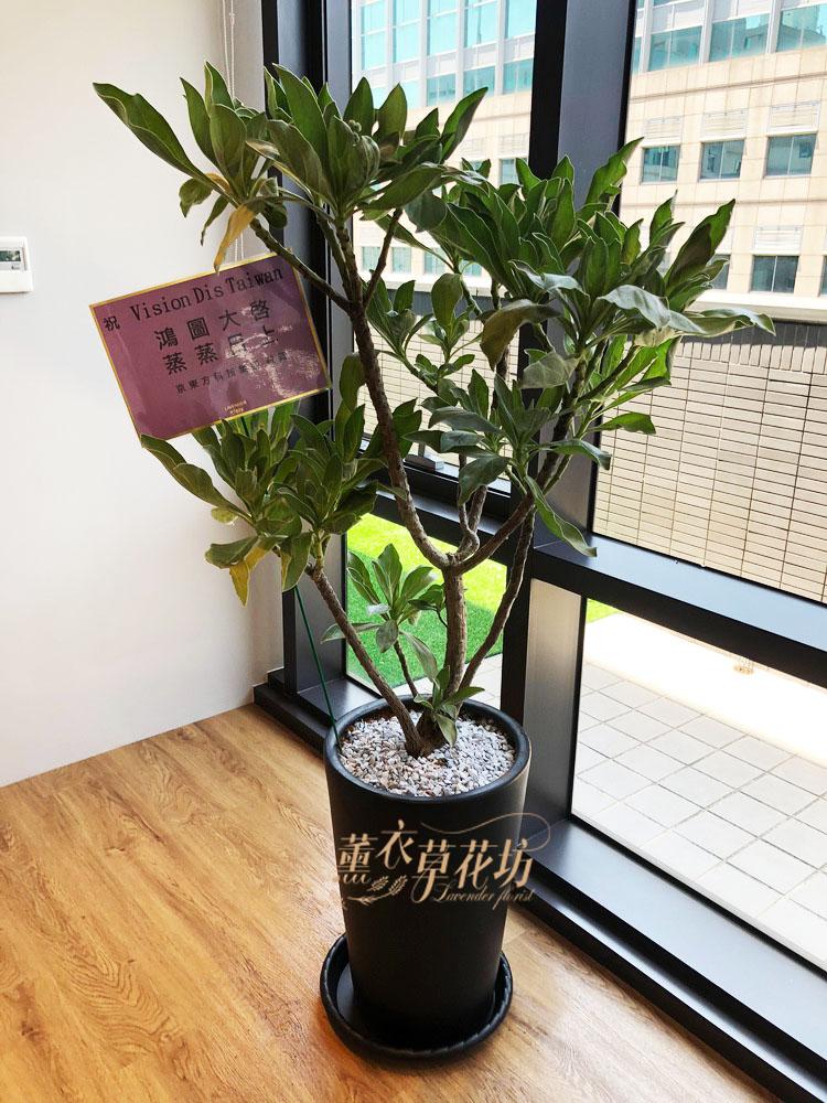 白水木盆栽 106112424