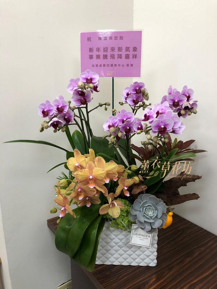 蝴蝶蘭/蘭花盆栽 110011822
