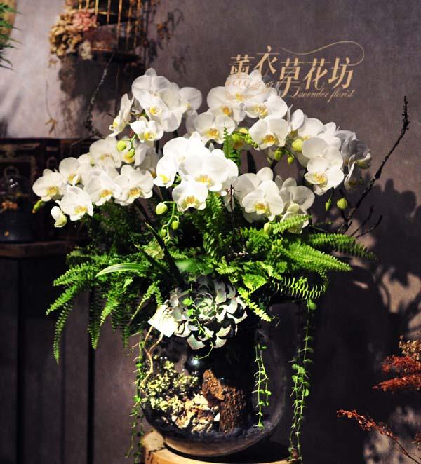 蝴蝶蘭/蘭花/設計108010707