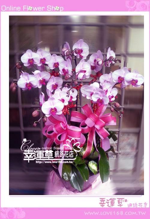 D072優質蘭花8株