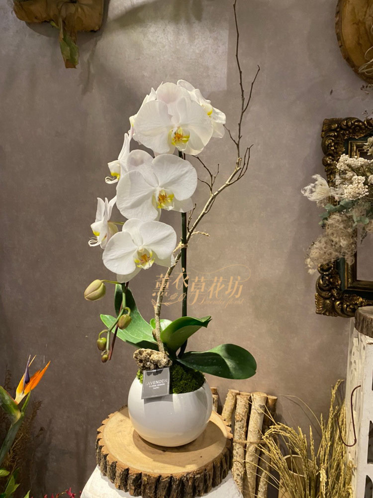 蝴蝶蘭/蘭花/盆栽 109060126