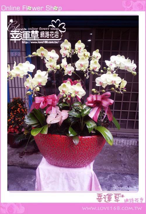 D001富樂蝴蝶蘭10株