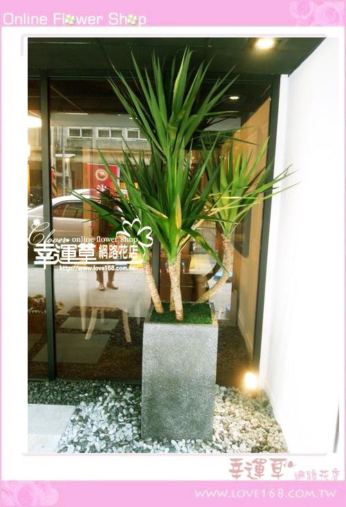 E89大型綠尤加利盆栽