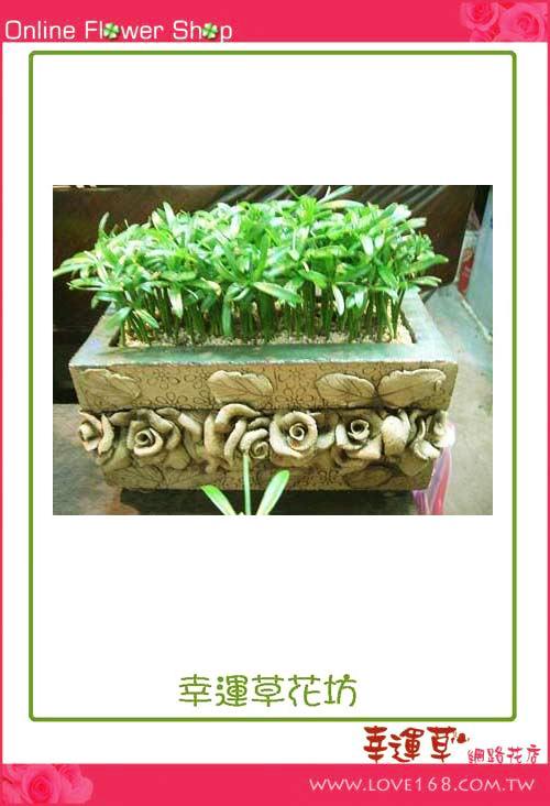 E52羅漢松桌上盆栽