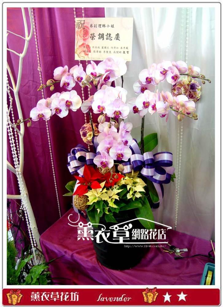 高雅蝴蝶蘭7朱y32921