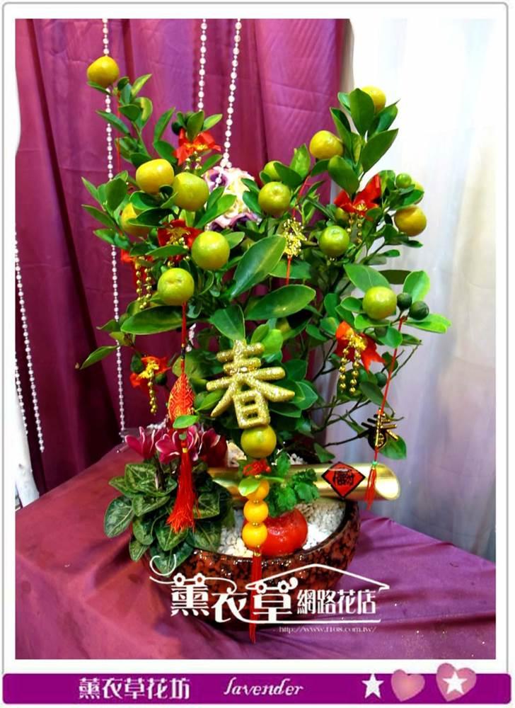 金桔樹盆栽y33870