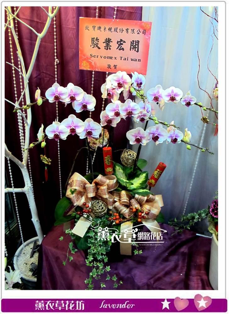 高雅蝴蝶蘭6朱y33895