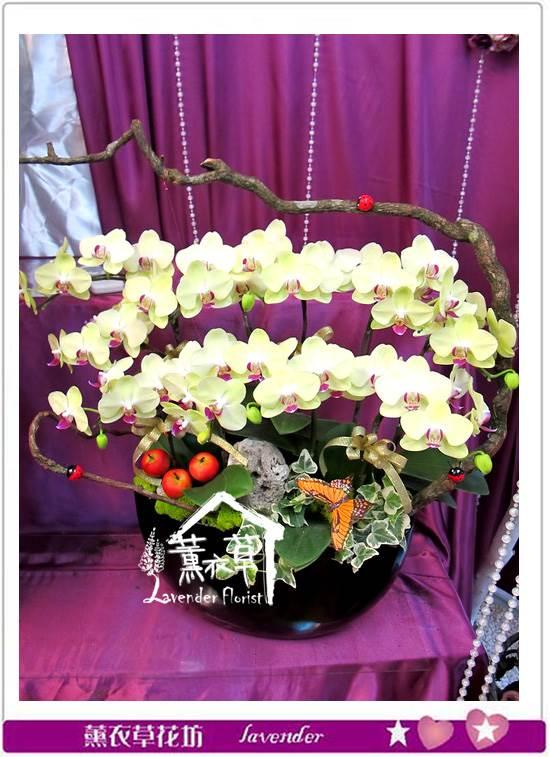 黃金蝴蝶蘭10朱aa1235