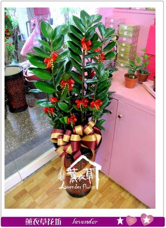 金錢樹盆栽aa5412