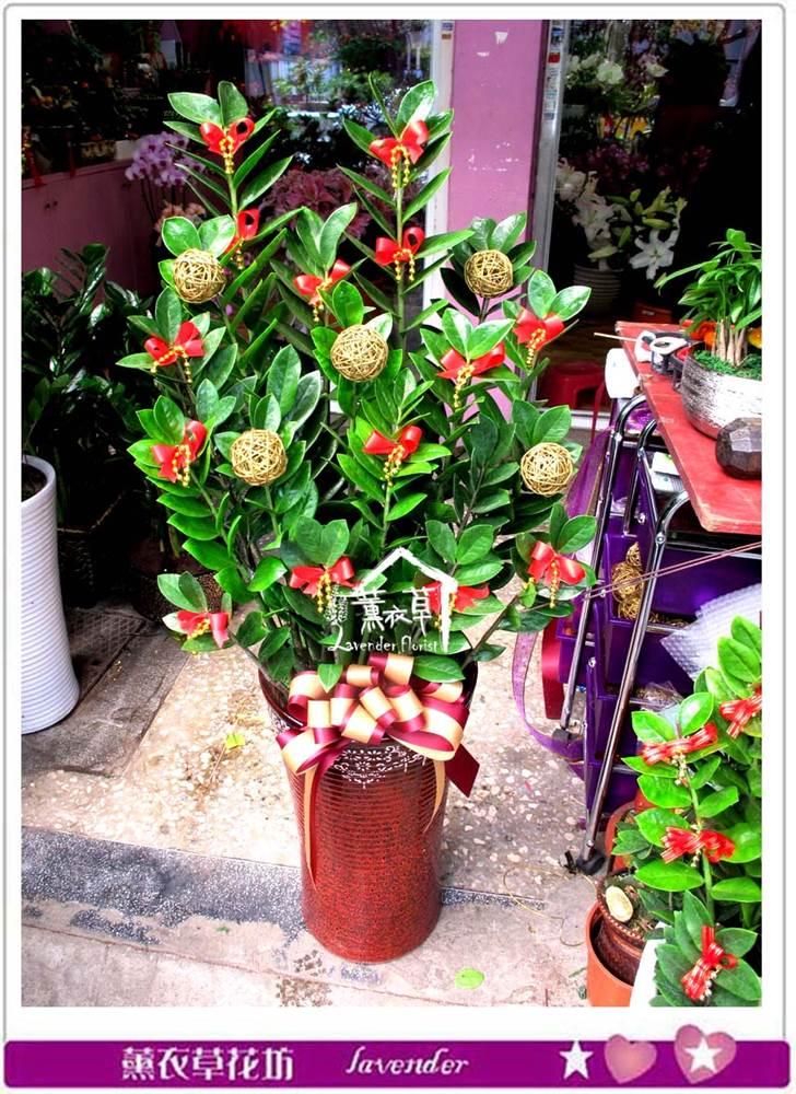 金錢樹盆栽c032820