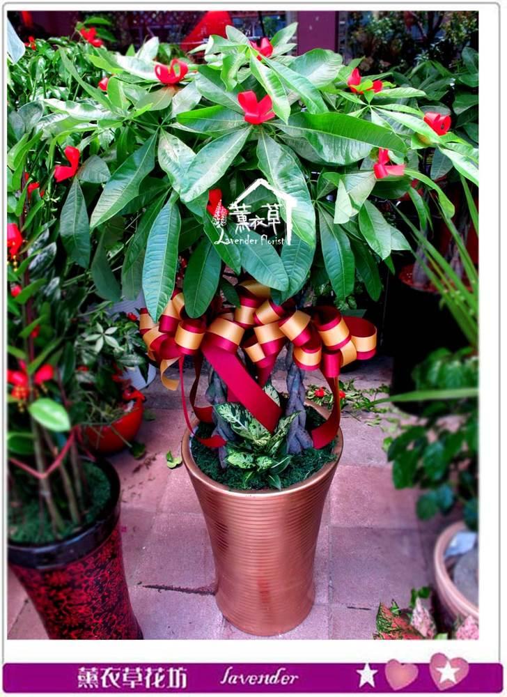 發財樹盆栽c071932