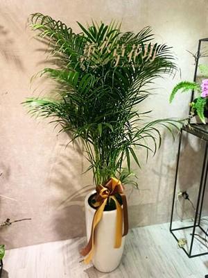 黃椰子樹109102618