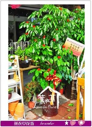 旺旺樹盆栽 106100202