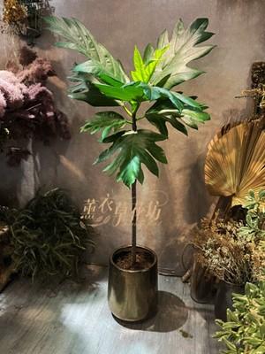 麵包樹盆栽110061706