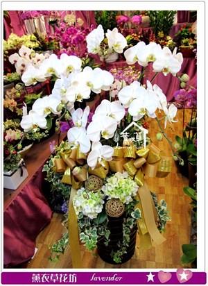 高雅蝴蝶蘭7朱b123112
