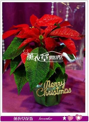 聖誕紅一盆(BR)須搭配主商品y33033