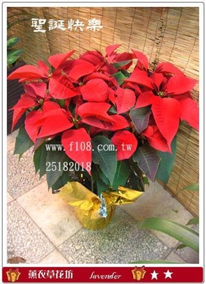 聖誕紅一次需購買10盆D207-1