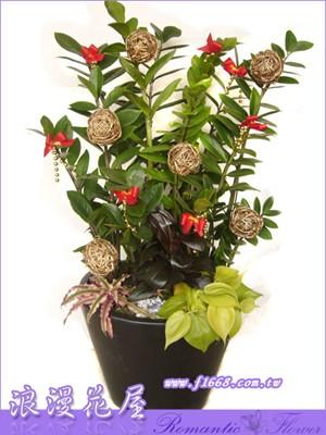 金錢樹盆栽3-8