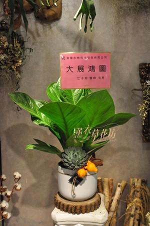 大王寶樹~盆栽/盆景 109100713