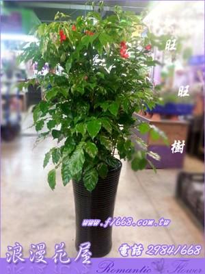 旺旺樹盆栽3-125