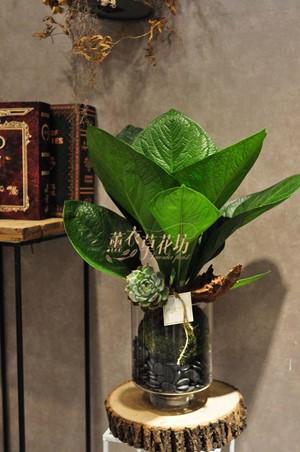 大王寶樹盆栽~新品價108111811
