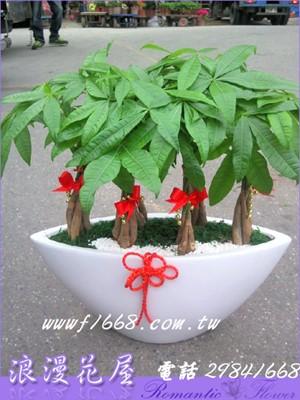發財樹盆栽 3-107