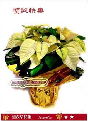 聖誕紅盆栽D105