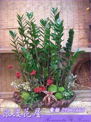 金錢樹盆栽3-40