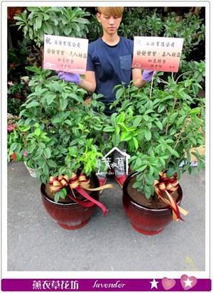 桂花盆景一盆c061318