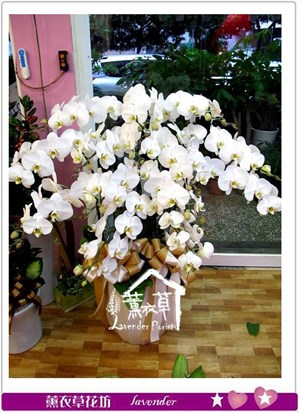 高雅蝴蝶蘭12朱aa672