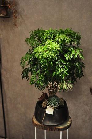 富貴樹盆栽108102206
