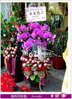 高雅蝴蝶蘭7株y33496