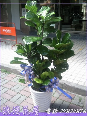 琴葉盆栽 3-117