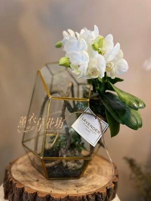 蝴蝶蘭/玻璃花屋設計 110091603