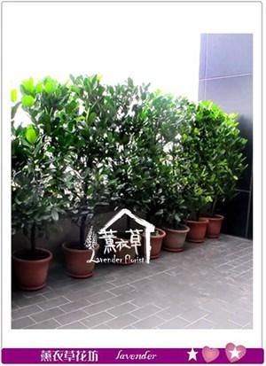 福木盆栽aa1037
