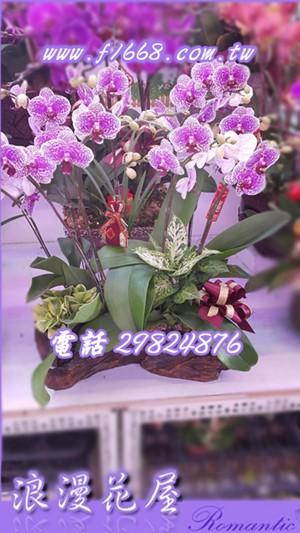桌上型蘭花D96