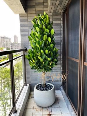 福木-旺旺樹 110010635