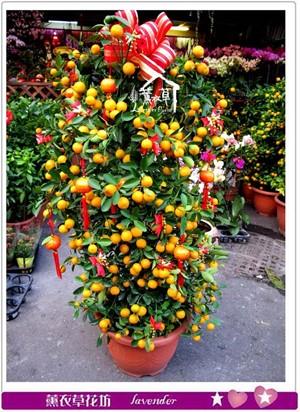 金桔樹~新年限定c012221