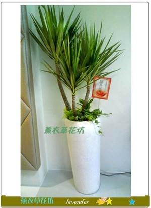 尤加利盆栽D385